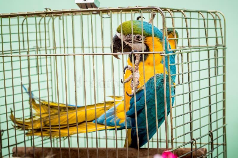 ara大杂色的鹦鹉在captivity_的一只笼子坐 库存照片