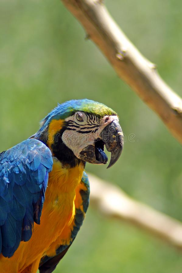 Ara金刚鹦鹉是与长尾巴、长的狭窄的翼和生动地色的全身羽毛的大醒目的鹦鹉 图库摄影
