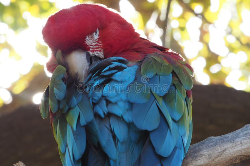 Ara παπαγάλων στοκ εικόνες με δικαίωμα ελεύθερης χρήσης