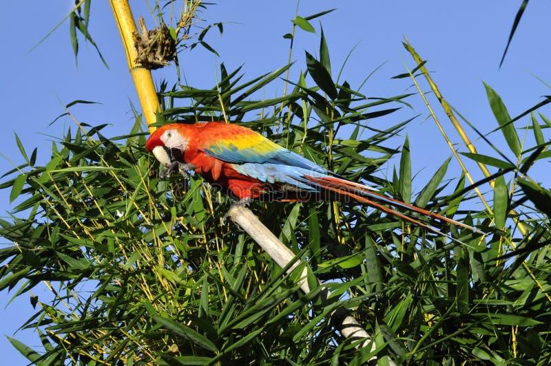 Ara amazonien photographie stock