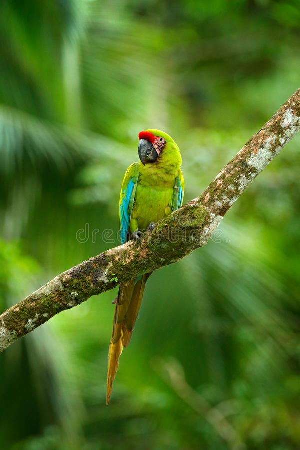Ara ambigua, Green parrot Great-Green Macaw on tree. Wild rare bird in the nature habitat, sitting on the branch in Costa Rica. Wi. Ldlife scene in tropic forest stock photo