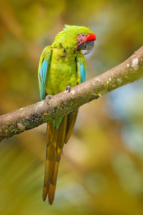 Ara ambigua, Green parrot Great-Green Macaw on tree. Wild rare bird in the nature habitat, sitting on the branch in Costa Rica. Wildlife scene in tropic forest royalty free stock photo