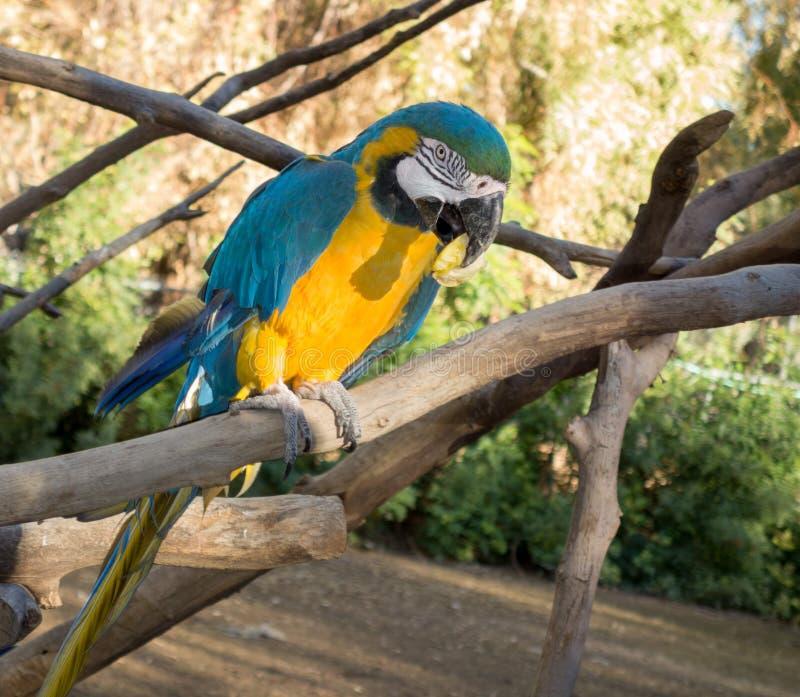 Ara ararauna或青和黄色金刚鹦鹉 图库摄影