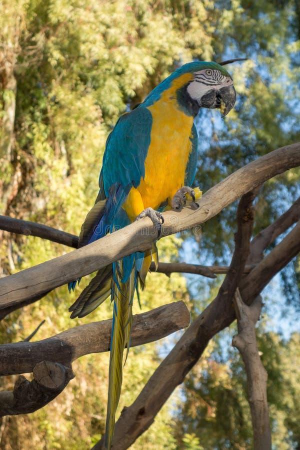 Ara ararauna或青和黄色金刚鹦鹉 免版税库存照片