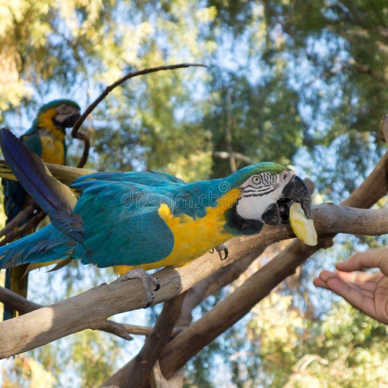 Ara ararauna或青和黄色金刚鹦鹉 库存图片