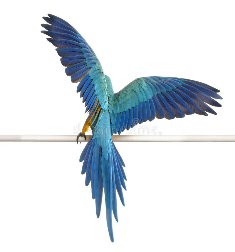 ara ararauna蓝色金刚鹦鹉背面图黄色 免版税库存照片