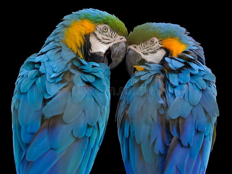 ara ararauna蓝色金刚鹦鹉黄色 图库摄影