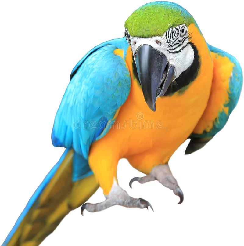 Ara ararauna. Blue-yellow macaw parrot on the hand. Isolated on the white. stock image