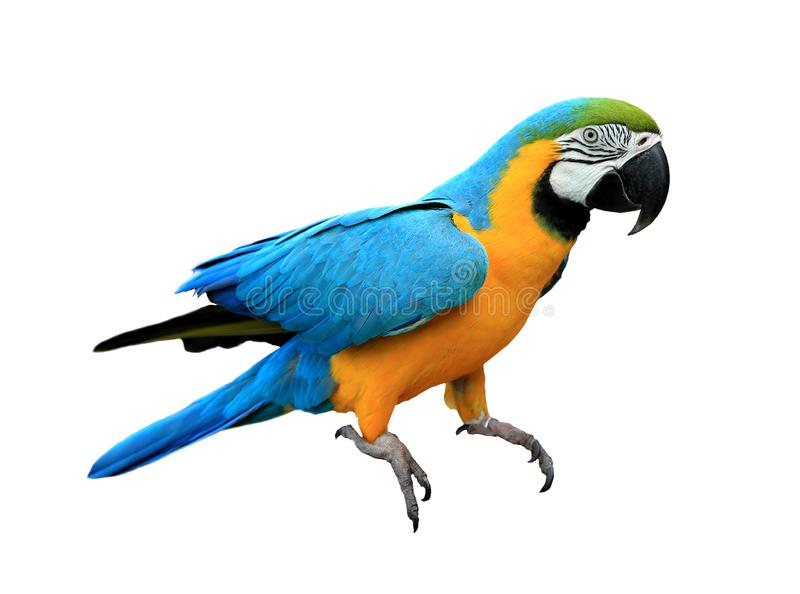 Ara ararauna. Blue-yellow macaw parrot. Isolated on the white stock photos