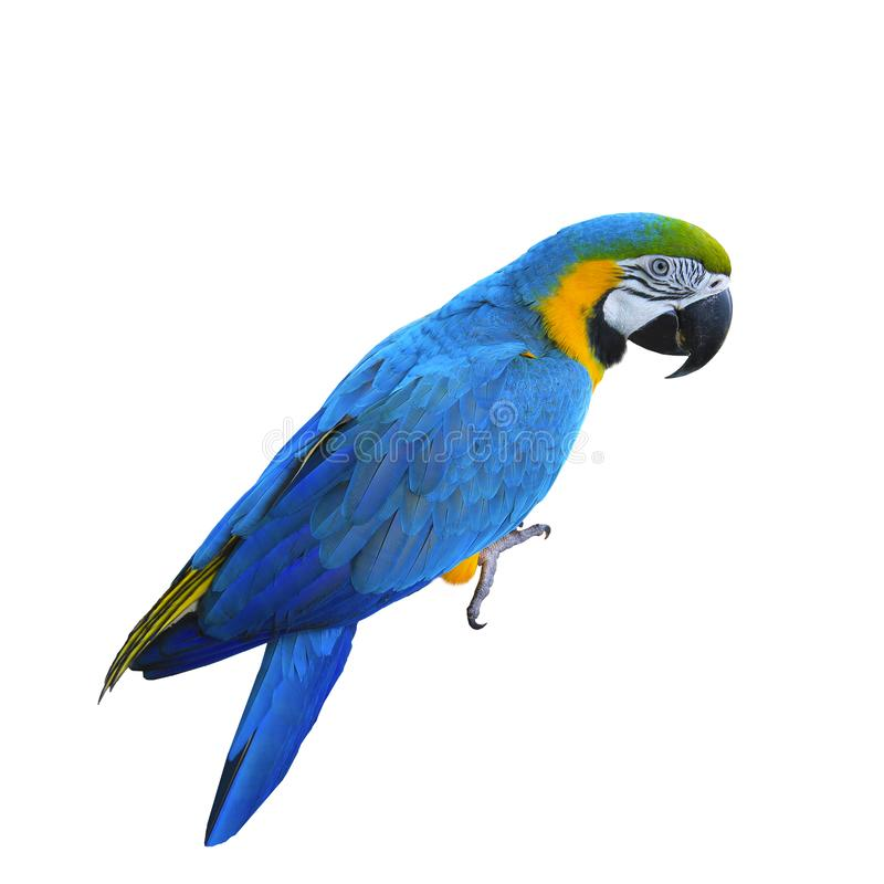 Ara ararauna. Blue-yellow macaw parrot. Isolated on the white.  royalty free stock photo