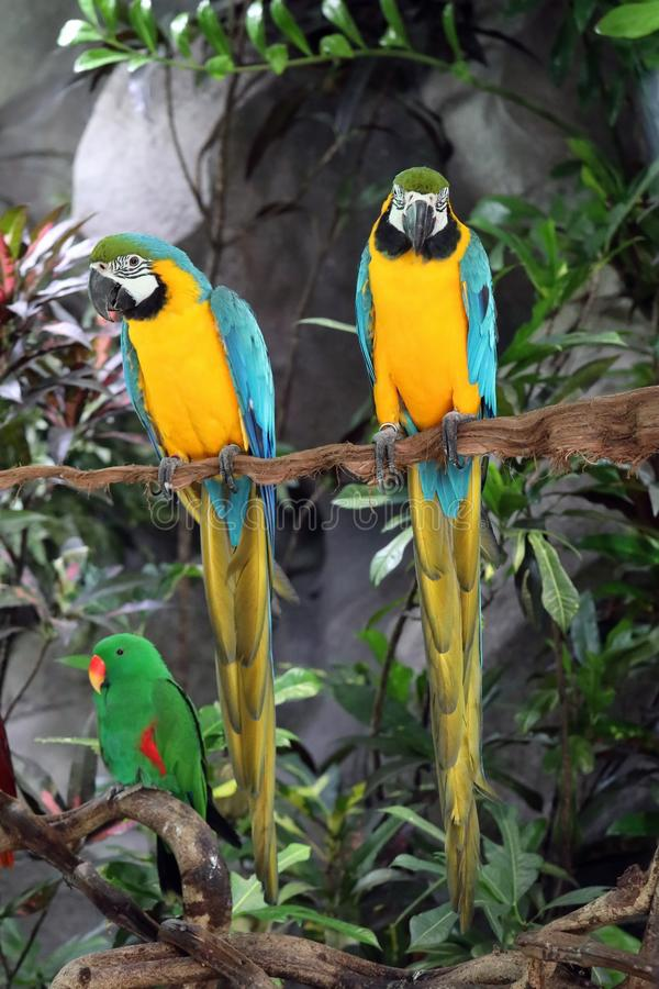 Ara Ararauna Deux perroquets bleus et jaunes colorés d'ara en Thaïlande images libres de droits