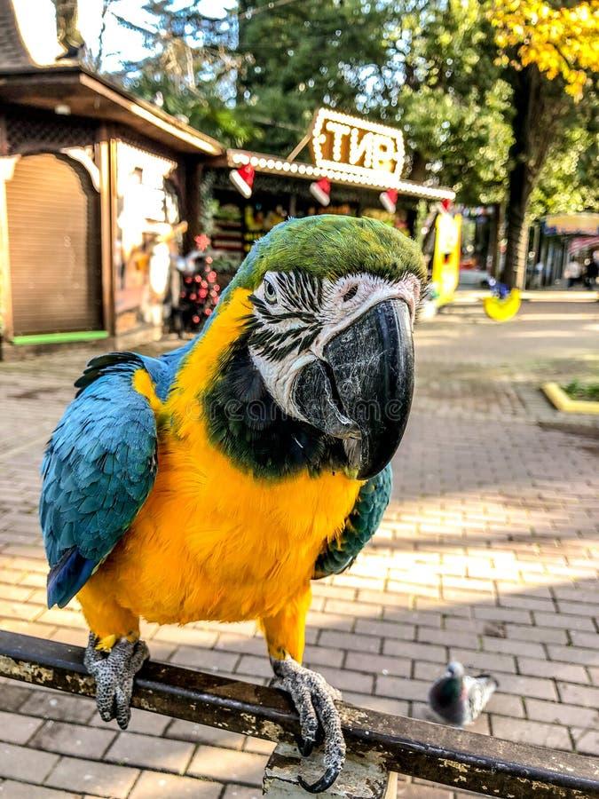 Ara Ararauna Het blauw-gele portret van de arapapegaai Ara Macaw-papegaai stock foto's
