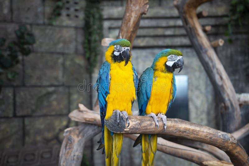 Ara ararauna. Two Blue-yellow macaw parrots on tree branch. Ara macao parrots in zoo. Ara ararauna. Two Blue-yellow macaw parrots on tree branch. Ara macao stock photography