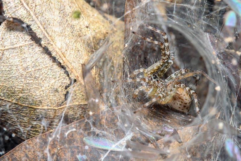 Ara?a ascendente cercana en la web de ara?a en cueva de la hoja en la naturaleza Tailandia fotografía de archivo libre de regalías