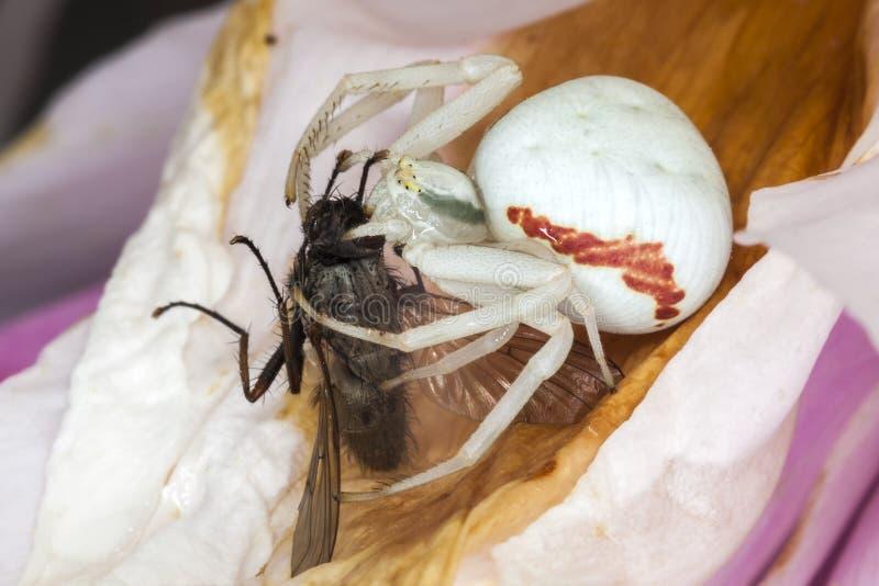 Ara?a blanca del cangrejo con una mosca fotos de archivo libres de regalías
