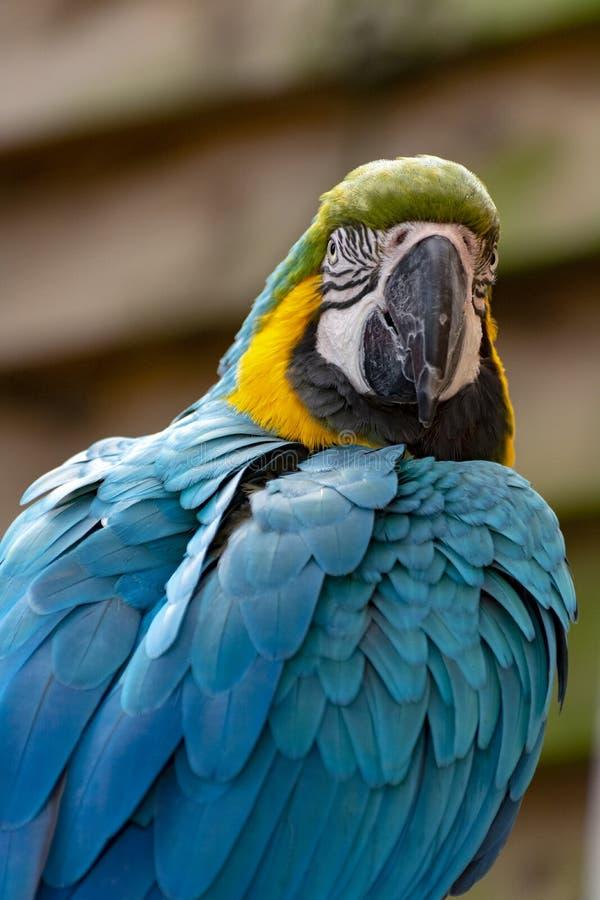 Ara blauw-en-gele papegaai, kleurrijke exotische vogel met lange staart stock foto