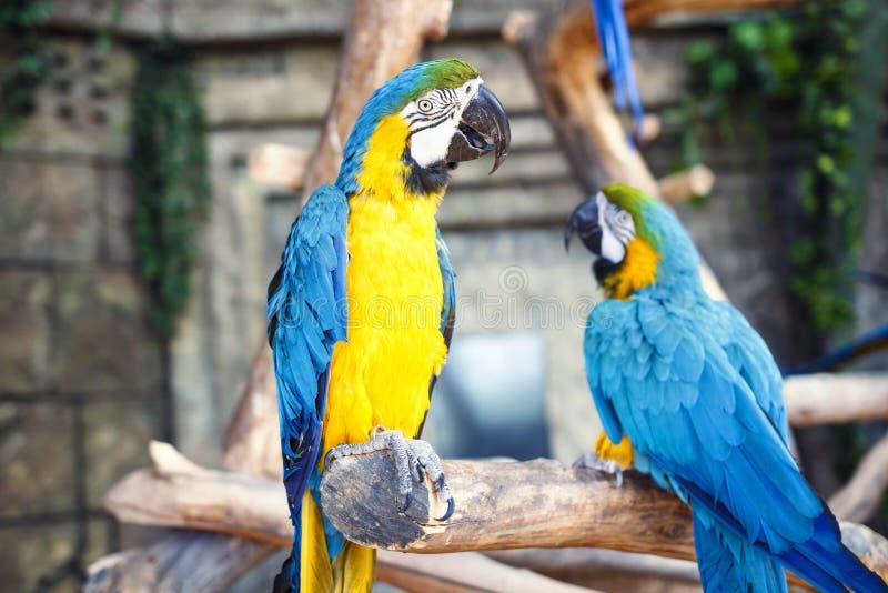 Ara bleu de deux perroquets de jaune sur la branche du vieil arbre Ararauna d'arums, perroquet d'ara photographie stock