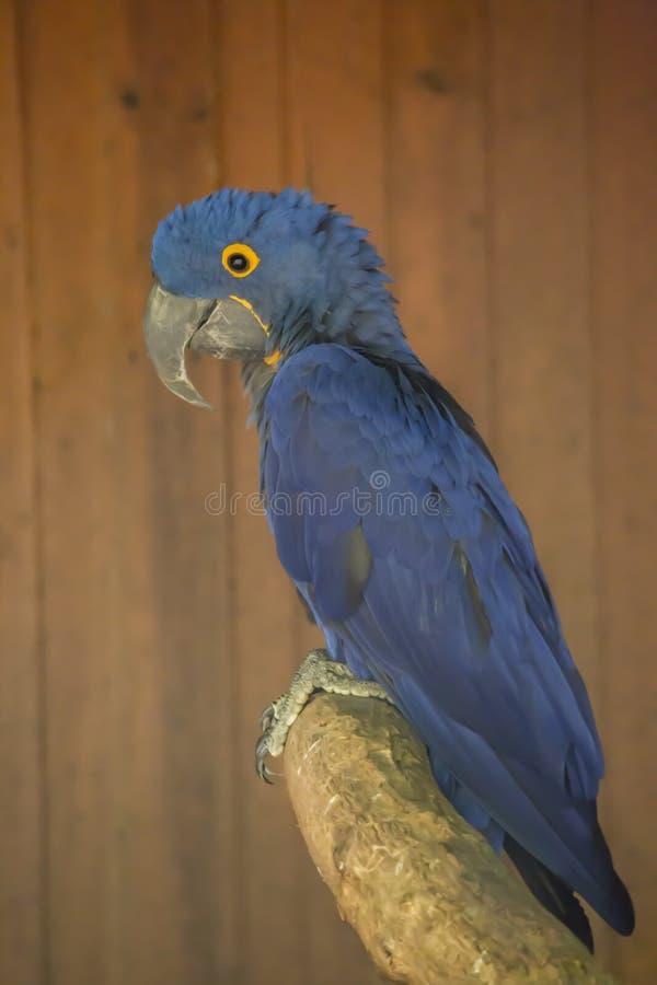 Ara bleu de jacinthe d'arums sur la perche images libres de droits