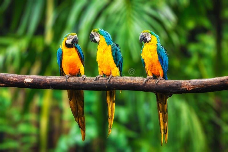 Ara Bleu-et-jaune dans la forêt photo libre de droits