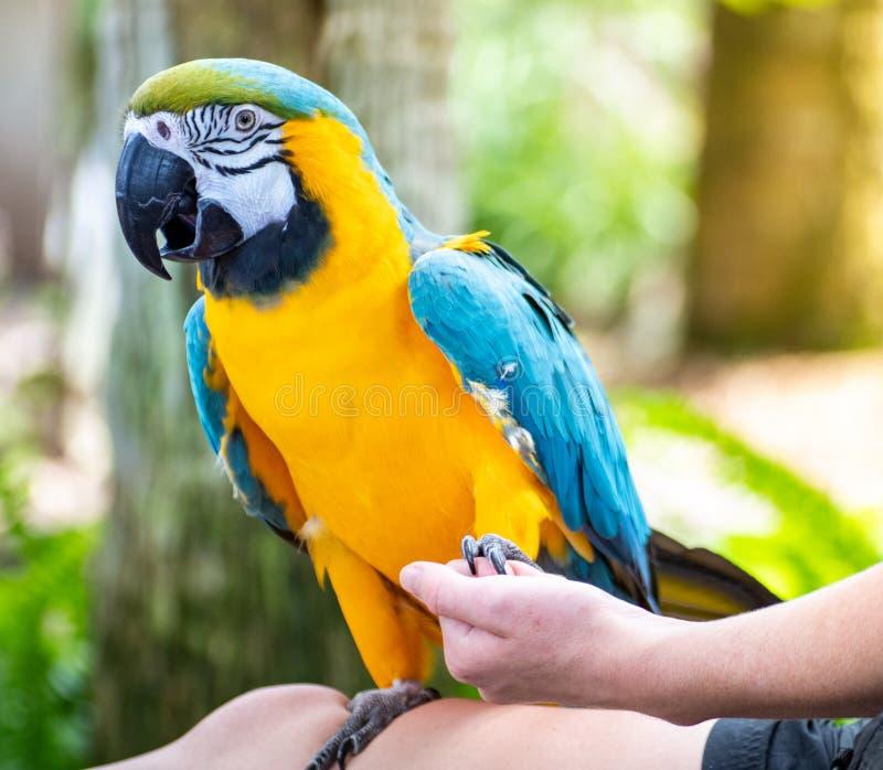 Ara bleu et jaune tenant des mains avec le manipulateur d'oiseau image libre de droits