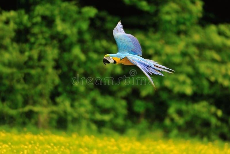 Ara bleu-et-jaune volant - ararauna d'arums photographie stock