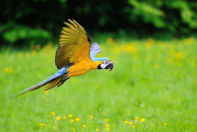 Ara bleu-et-jaune volant - ararauna d'arums image libre de droits