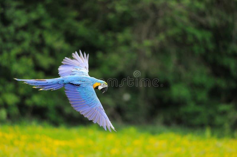 Ara bleu-et-jaune volant - ararauna d'arums photographie stock libre de droits