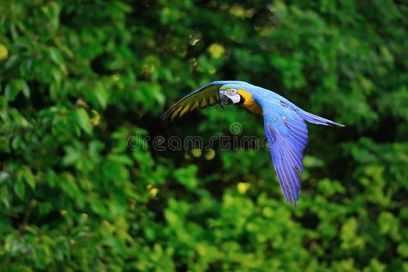 Ara bleu-et-jaune volant - ararauna d'arums photo libre de droits