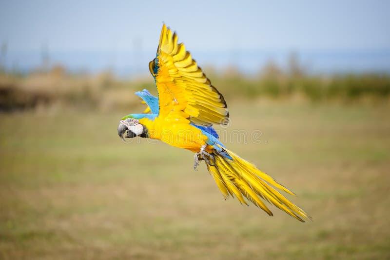 Ara bleu-et-jaune volant - ararauna d'arums photos libres de droits