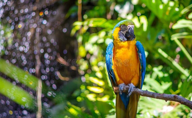 ara Bleu-throated image stock