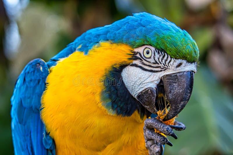 Ara blu e gialla aka Arara Caninde, uccello brasiliano esotico di ararauna dell'ara dell'uccello, immagini stock