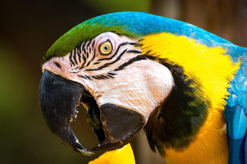 ara Blu-e-gialla (ara-ararauna) fotografie stock