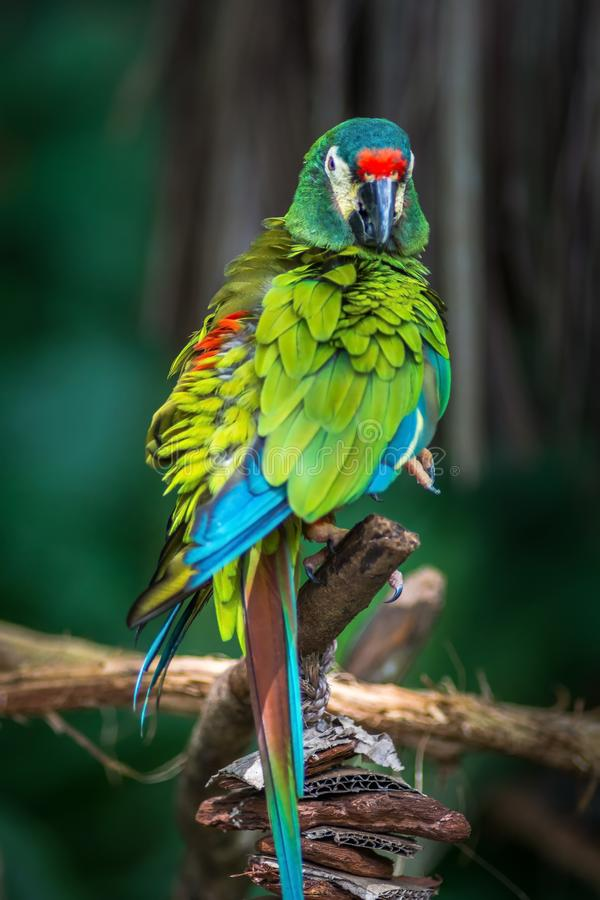 Ara d`Illiger, Blue-winged macaw bire on a branch in Parque das Aves, Foz do Iguacu, Parana state Brazil. Ara d`Illiger, Blue-winged macaw, Primolius maracana stock photos