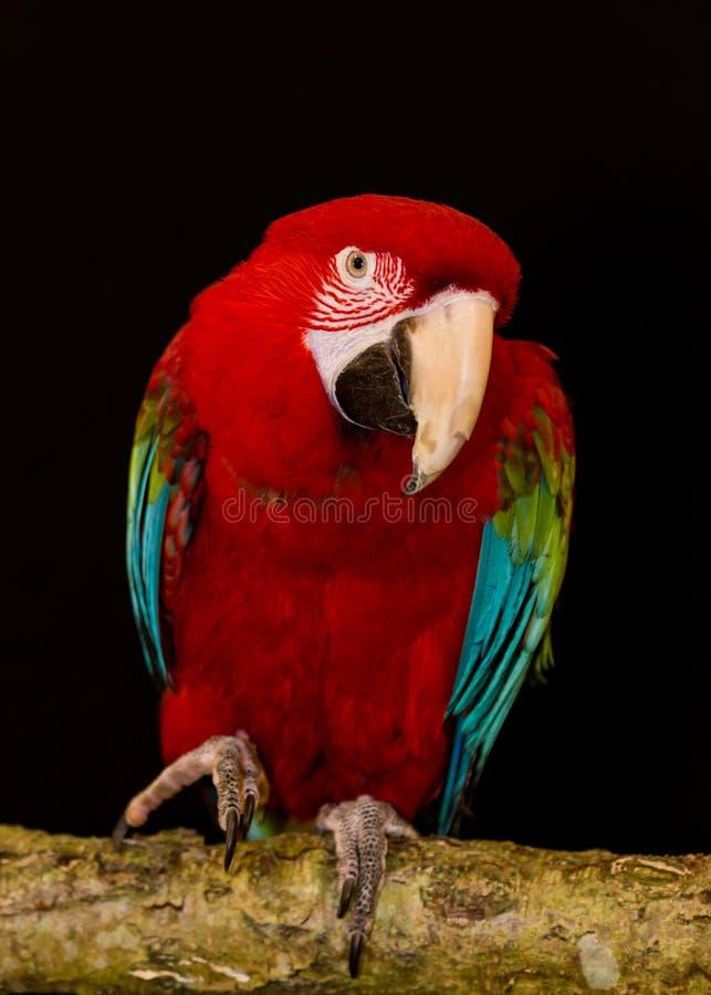 Ara di Greenwing uccello Pappagallo fotografie stock libere da diritti
