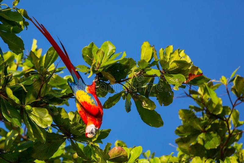 Download Ara stock photo. Image of pacific, safari, summer, parrots - 109450254