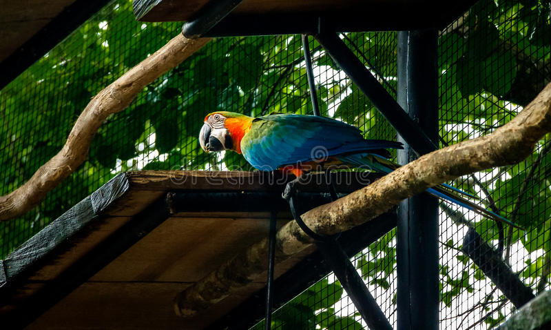 Ara hybride chez Parque DAS Aves - Foz font Iguacu, Parana, Brésil photo libre de droits
