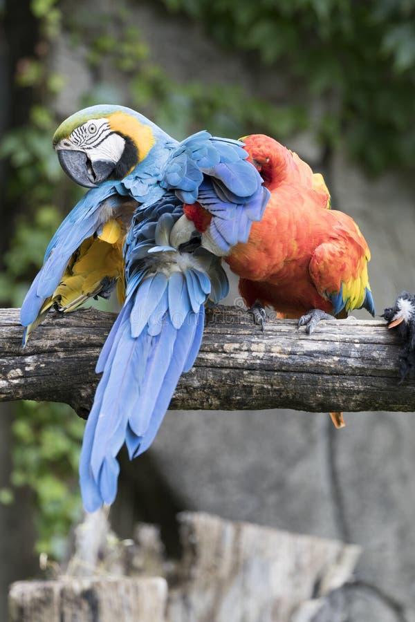 Ara macaw parrot. Pair of macaw parrots quarreling stock photo