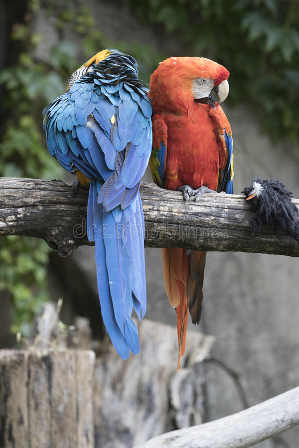 Ara macaw parrot. Pair of macaw parrots they share the same branch stock photography
