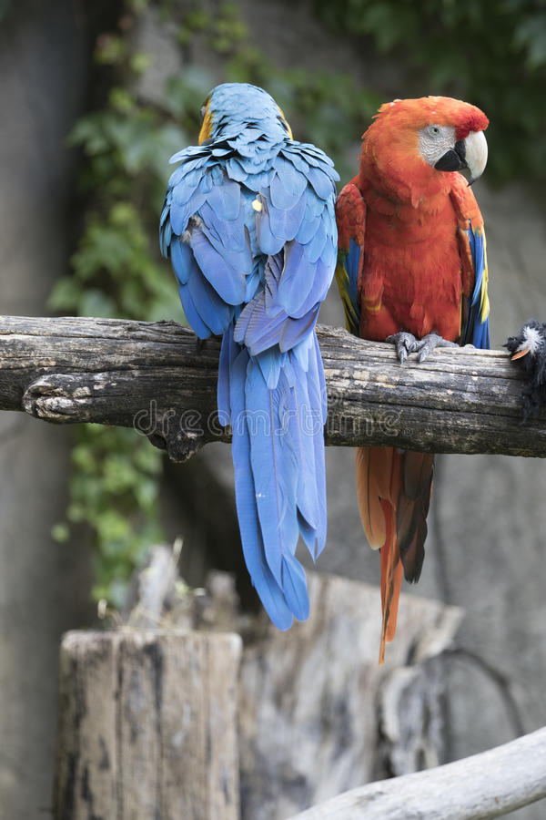 Ara macaw parrot. Pair of macaw parrots they share the same branch royalty free stock photo