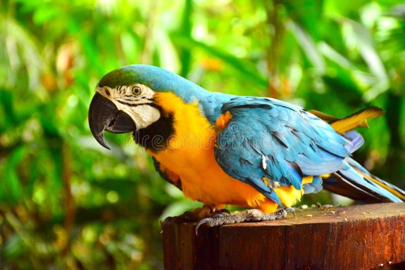 Ara macaws parrot. At Lok Kawi Wildlife Park stock image