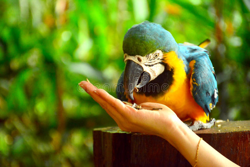 Ara macaws parrot. At Lok Kawi Wildlife Park royalty free stock photos