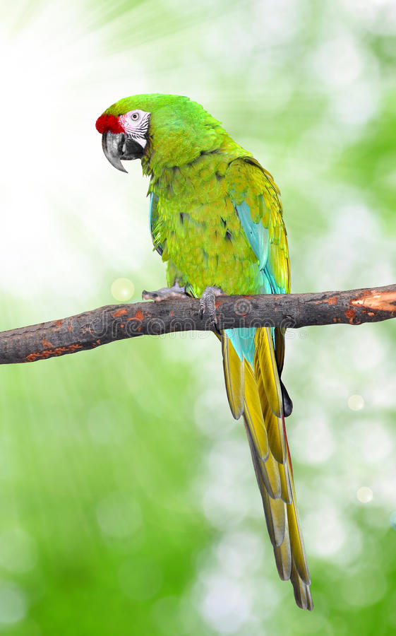 Ara Militaris Military Macaw. Green parrot South and Central america royalty free stock photo
