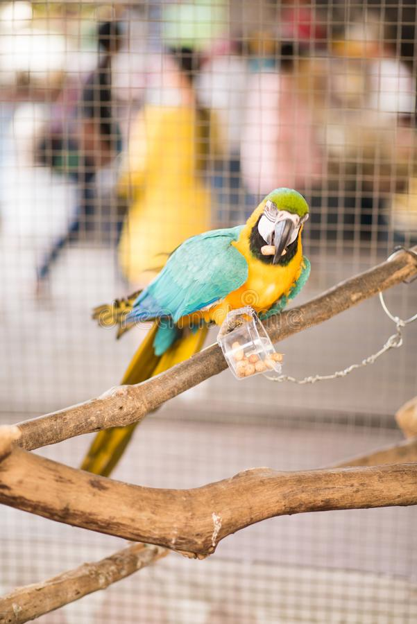 Colorful Ara parrot. Macaw on the branch eating food that feeded. Ara parrot. Macaw on the branch eating food that feeded royalty free stock image