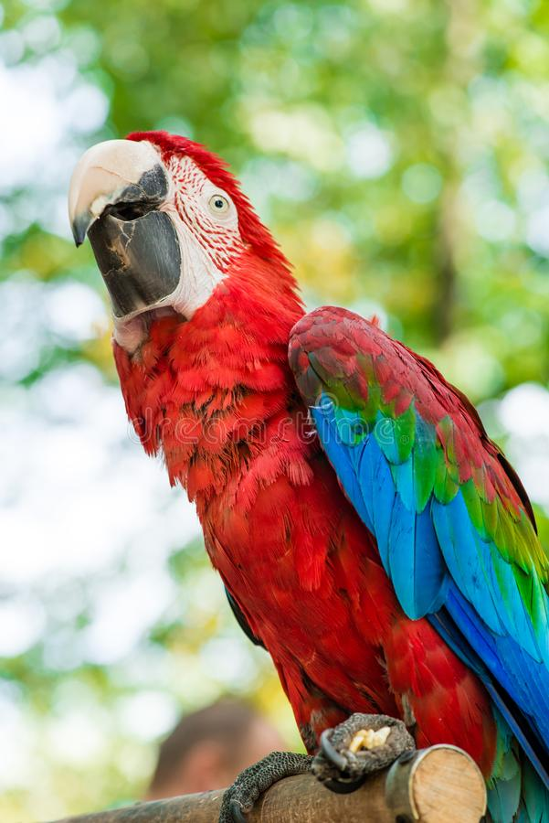 Ara parrot, red blue macaw looking up. Close up royalty free stock photography