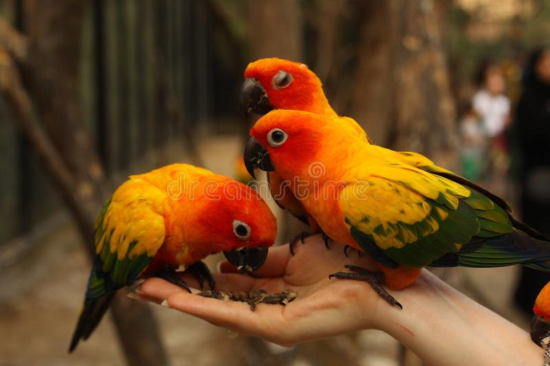 Ara parrots couple sit on human hand close up photo. On jungle background stock image