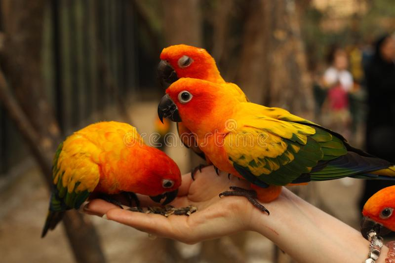 Ara parrots couple sit on human hand close up photo. On jungle background royalty free stock images