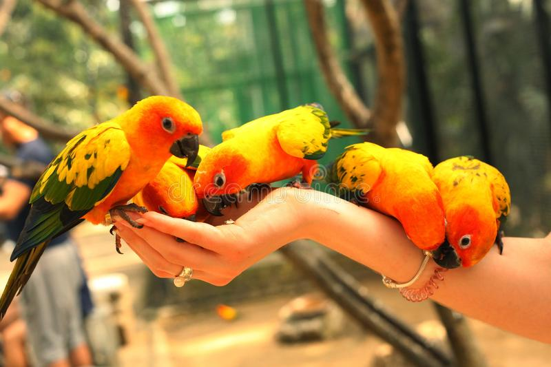 Ara parrots couple sit on human hand. Close up photo on jungle background royalty free stock photography