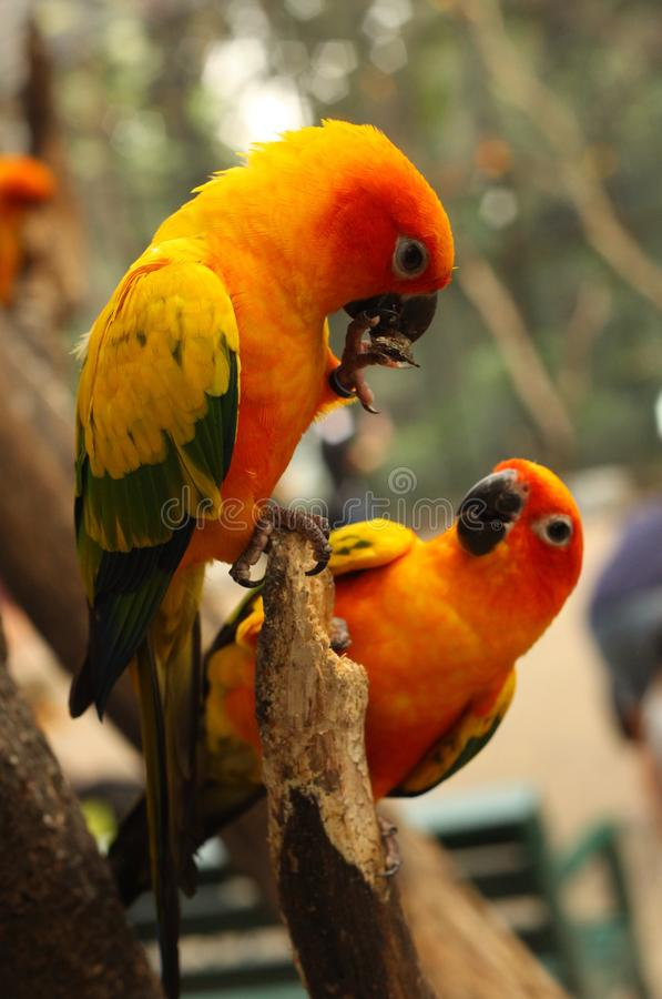 Ara parrots couple sit on tree branch close up photo. On jungle background royalty free stock photography