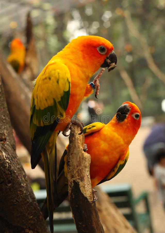 Ara parrots couple sit on tree branch close up photo. On jungle background royalty free stock image