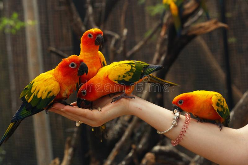 Ara parrots sit on human hands close up photo. On jungle outdoor background stock images